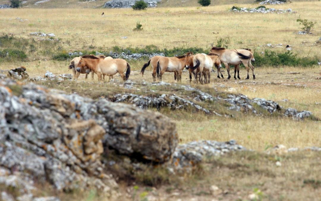 Les Chevaux de Przewalski sur le Causse Méjean
