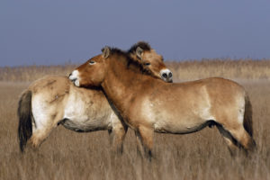 cheval-przewalski-causse-mejean